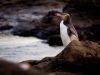 Gelbaugen Pinguin, Curio Bay, The Catlins